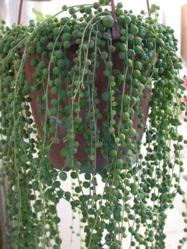 string of plant string of pearls 5 cuttings succulent cactus senecio easy to root ebay