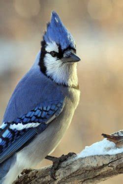 the blue jay is a very pretty bird if you want them