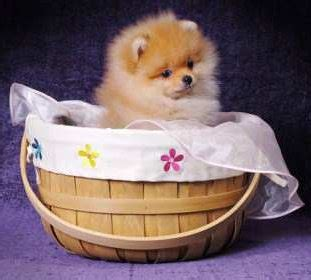 pomeranian heat cycle pomeranian heat the details of a pom s estrous cycle