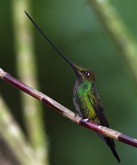de 25 bedste id 233 er inden for hummingbird photos p 229