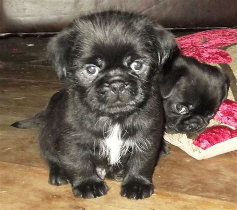 black pug mix pug shih tzu mix puppy black breeds picture