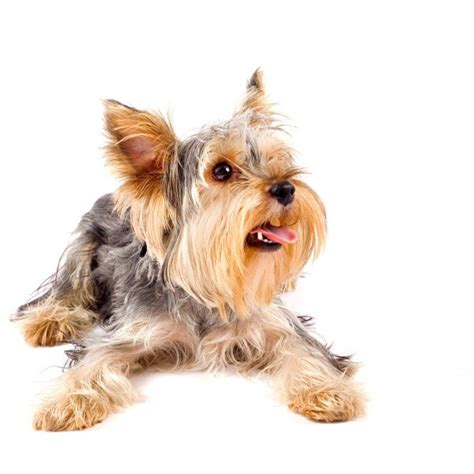 best way to potty a yorkie puppy how does it take to housebreak a yorkie puppy house plan 2017