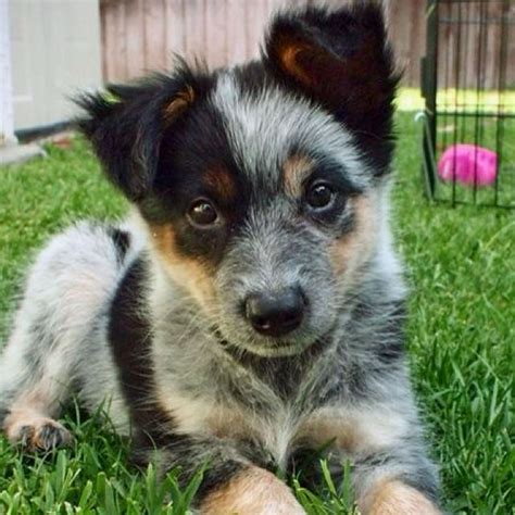 and blue heeler puppies queensland blue heeler australian cattle puppy dogs
