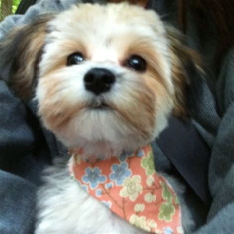 morkie haircut styles 10 best images about morkie cuts grooming on pinterest