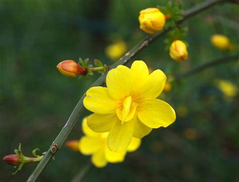 come coltivare il gelsomino in vaso come coltivare il gelsomino in vaso e in giardino