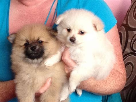 micro teacup pomeranian puppies micro teacup pomeranian puppies sale greater manchester pets4homes