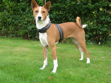 breed information basenji breed information basenji basenji dogs breeds picture