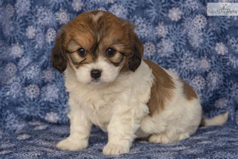 cavachon puppies cavachon cavapoo breeds picture