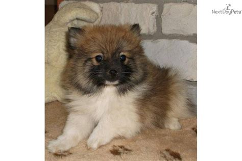 parti pomeranian puppies meet akc bilbo parti boy a pomeranian puppy for sale for 500 akc bilbo