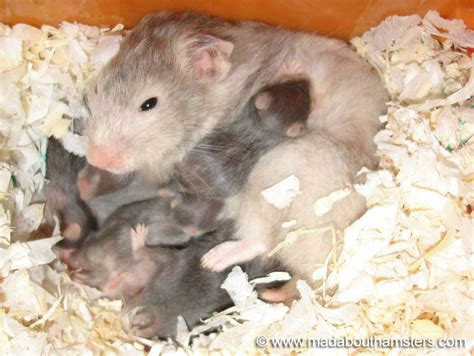 baby hamsters animal families pinterest baby