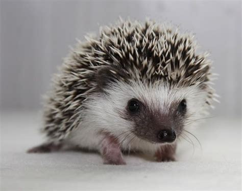 How Do Baby Need A Heat L by Heat L For Pygmy Hedgehog 28 Images Pygmy Hedgehog In