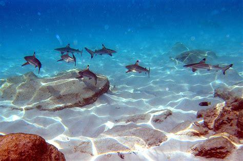 baby shark explained cute baby sharks near the shore alicia tan flickr