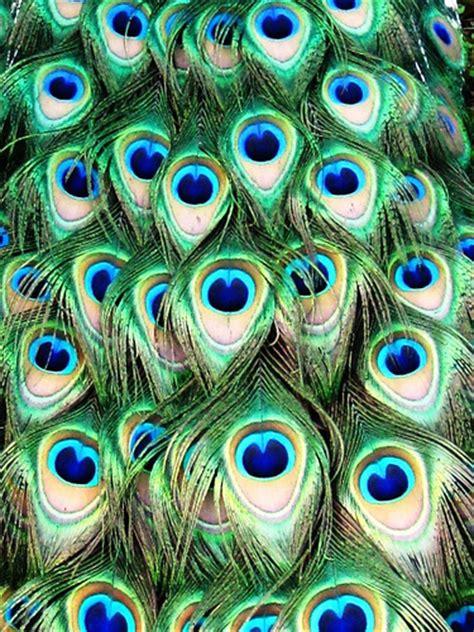 peacock feather colors peacock feather colors flickr photo