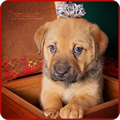 golden retriever rescue cincinnati ohio cincinnati oh german shepherd golden retriever mix meet pecko a puppy for