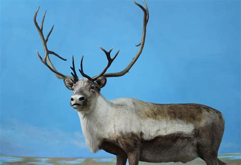 imagenes navideñas renos conoce m 225 s sobre los renos en estas fechas decembrinas