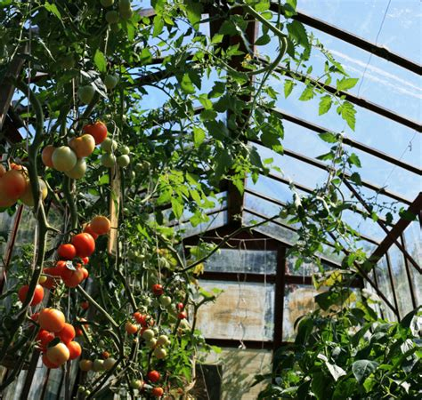 Tomaten Gew Chshaus Selber Bauen 1838 by Tomaten Und Gurken Im Selben Gew 228 Chshaus 187 Geht Das Gut
