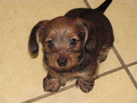 yorkie x dachshund 34 dachshund cross breeds you to see to believe