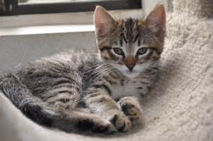 Gray mackerel tabby cat about how tabby cats got