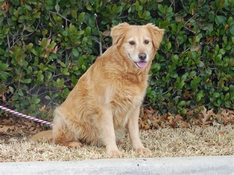golden retriever rescue tx 91 best images about 2014 adopted on adoption born in february and