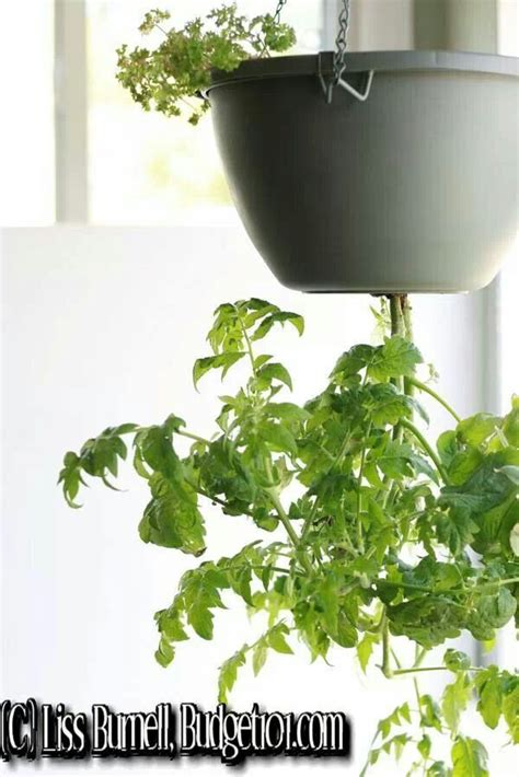 Diy Hanging Tomato Planter by Diy Tomato Planter Gardening