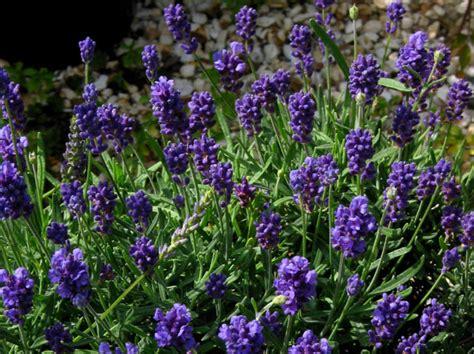 the lavender garden catalogue