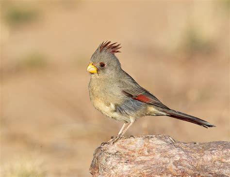 pyrrhuloxia mostly birds photographs by larry selman