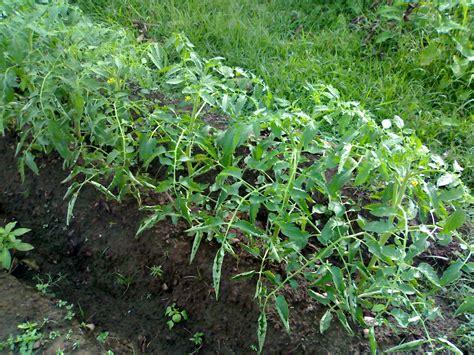 Biji Benih Tanaman Sayuran Tomat cara menanam tomat dari biji tanamanbaru