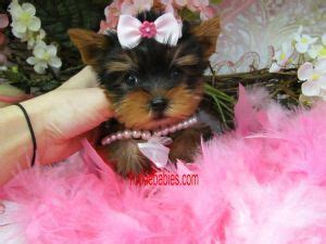 yorkie puppies for sale vancouver island 17 best ideas about puppies for sale on teacup dogs teacup puppies and