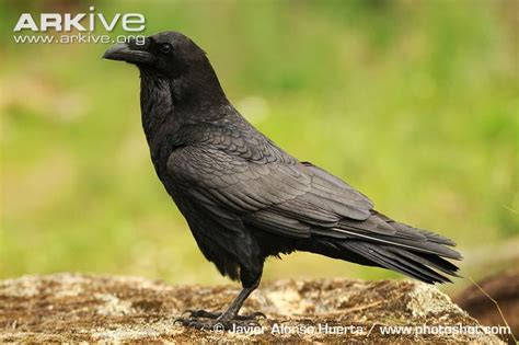 raven videos photos and facts corvus corax arkive