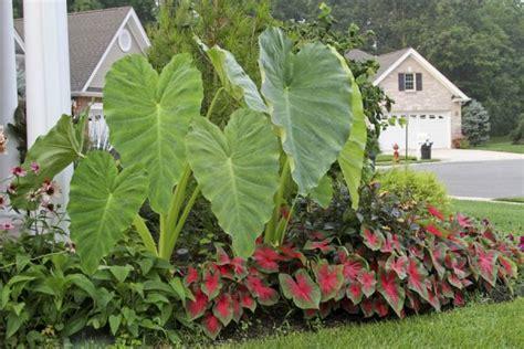 12 best elephant ear plant images on pinterest