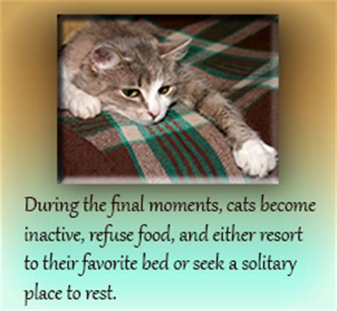 how to make a dying cat comfortable at home behavioral changes seen in cats before dying don t