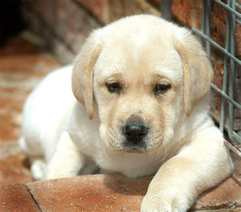 how much is a labrador puppy 2017 do attractive labrador puppies price in chennai shed pictures images