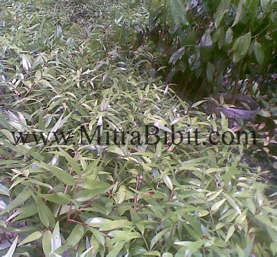 Bibit Lada Perdu Di Medan cv mitra bibit penghijauan dengan tanaman kayu damar
