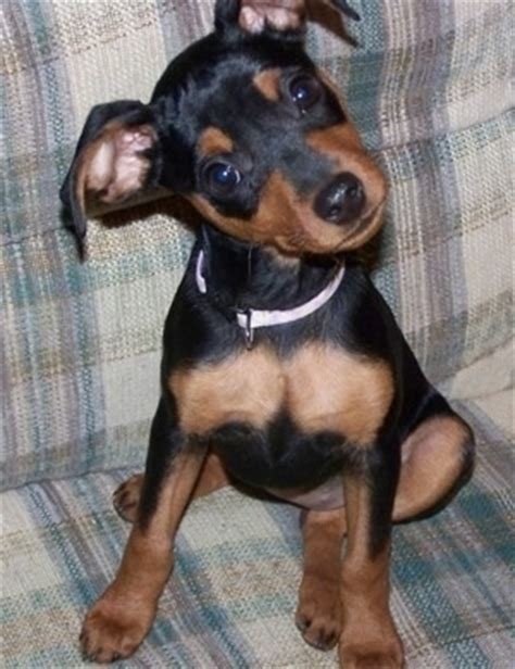 mini pin puppies miniature pinscher breed information and pictures