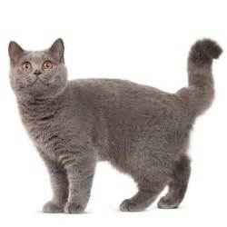 British shorthair cat breed information and facts
