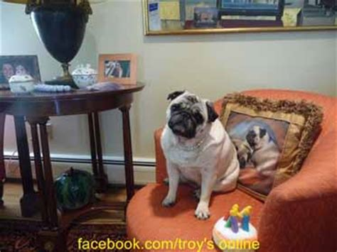 do pugs seizures pug information and facts breeds
