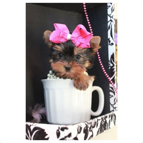 teacup yorkie for sale in pa 25 b 228 sta yorkies for sale id 233 erna p 229 teacup yorkie och baby pomeranian