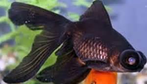 Goldfish and Cold Water Fish   Tauranga