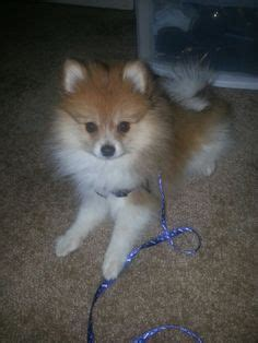4 month pomeranian pictures 1000 images about pomeranian on pomeranians pomeranian puppy and