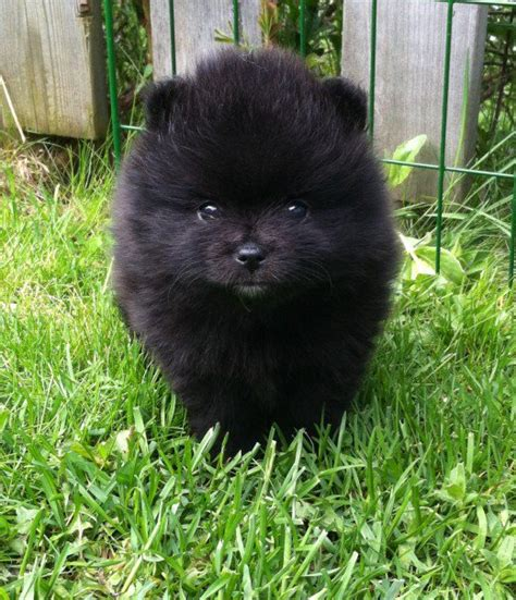 black pomeranian puppies 80 names for black dogs and puppies pethelpful