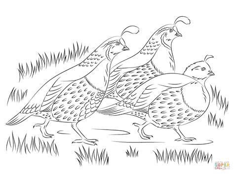 Free Coloring Page Quail by California Quails Coloring Page Free Printable Coloring