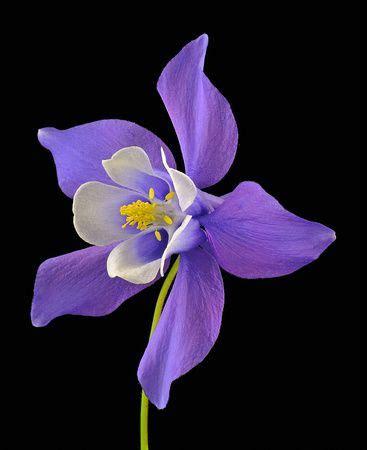 Origami Columbine Flower - quot origami blue quot columbine aquilegia ranunculaceae