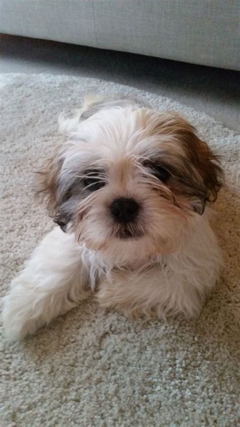 gold and white shih tzu puppies gorgeous gold and white shih tzu puppy aylesbury buckinghamshire pets4homes