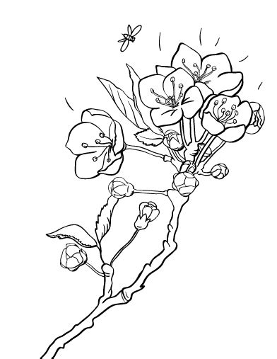 cherry blossom coloring pages printable cherry blossom coloring page free pdf