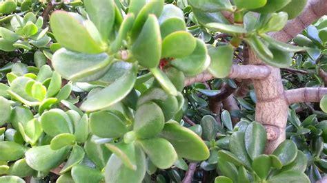 crassula ovata jade plant money tree hd 04 youtube