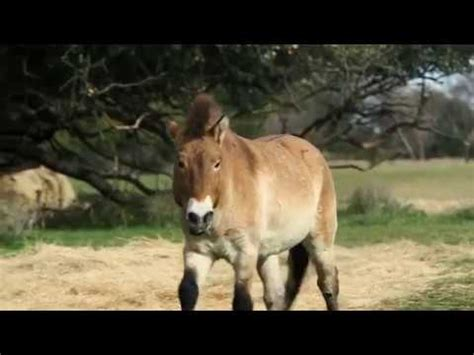 animaux sexe amour pets 4 cheval przewalski celebrating the birthday of the przewalski s hors