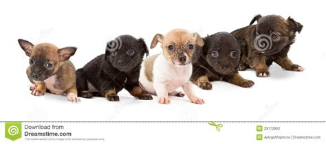 mixed breed puppies for free litter of mixed breed puppies stock photo image 29172852