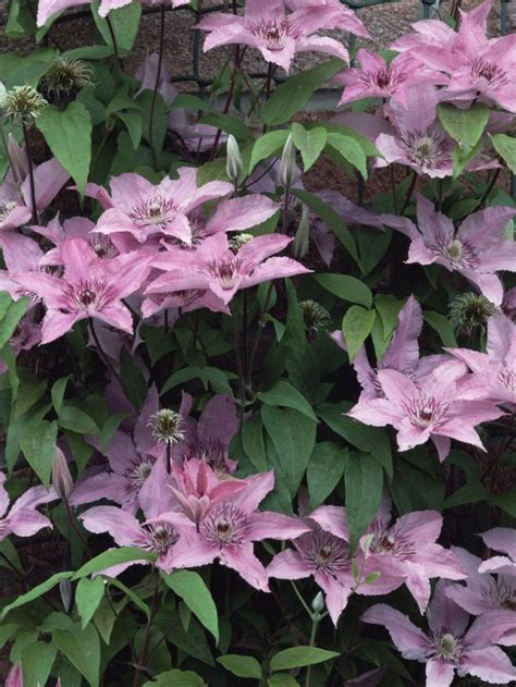 shade loving climbing plants 17 best ideas about climber plants on climbing