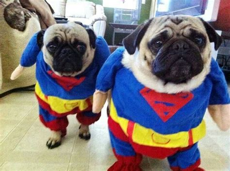 pug in pug costume 67 best pugs in costumes images on animals pug and costumes