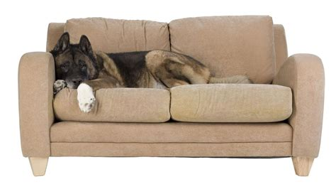 saltwater couch dog on the couch salt lake city upholstery cleaning